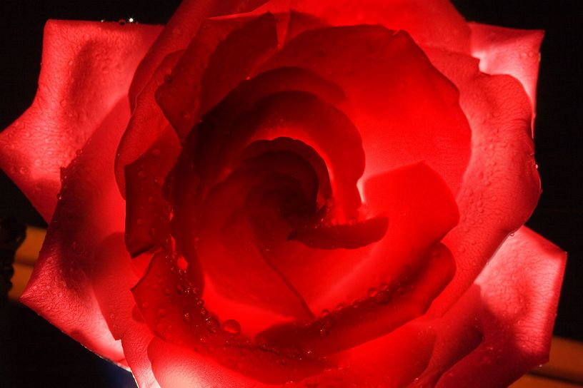 1280px-Red_rose_-_5588